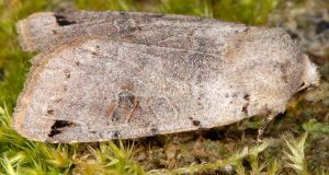 Agrochola-litura-38-4