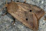 Agrochola lota 06 1