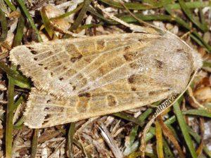 Agrochola lunosa 06 1