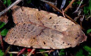 Agrochola lychnidis 1