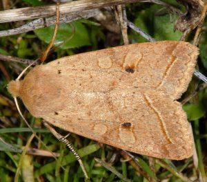 Agrochola macilenta 34 1