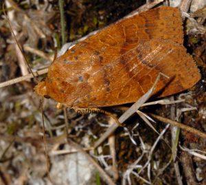 Agrochola pistacinoides 06 3