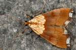 Agrotera nemoralis 06 2