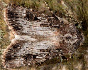 Agrotis catalaunensis 1