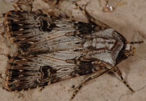 Agrotis catalaunensis 3