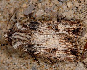 Agrotis catalaunensis 4