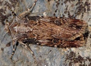 Agrotis catalaunensis 5