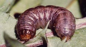 Agrotis exclamationis L5