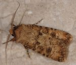 Agrotis segetum (I, L5)
