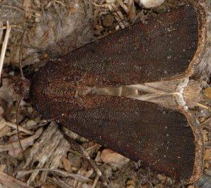 Agrotis trux 5
