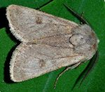 Agrotis turatii (I)