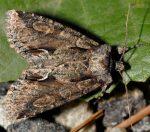 Allophyes corsica (I)