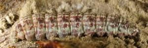 Alophia combustella