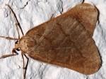 Alsophila aceraria 84