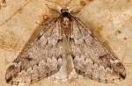 Alsophila aescularia 06 6