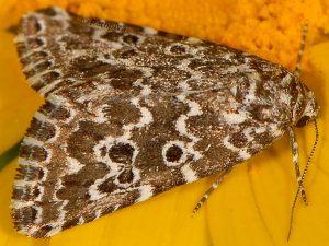 Alvaradoia disjecta 2