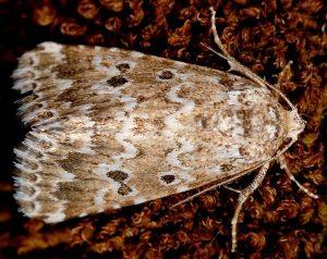 Alvaradoia disjecta 3