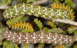 Alvaradoia disjecta L5 1