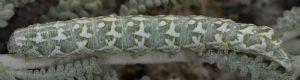 Alvaradoia numerica L5 1