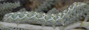 Alvaradoia numerica L5 3