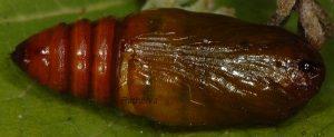 Alvaradoia numerica p 1