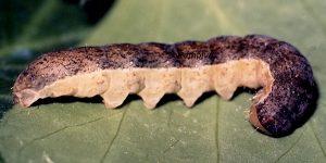 Ammoconia caecimacula L5 2