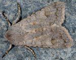 Ammoconia senex (I, L5)
