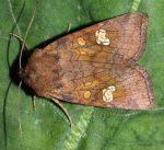 Amphipoea oculea (I)