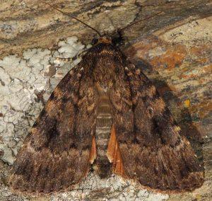 Amphipyra berbera 1