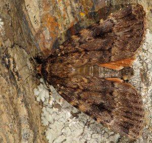 Amphipyra berbera 2