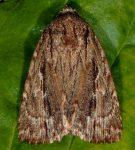 Amphipyra cinnamomea (I, L5)