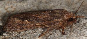 Amphipyra cinnamomea
