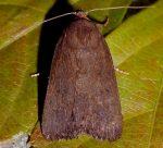 Amphipyra livida (I, L5)