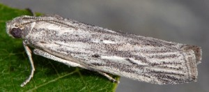 Amphithrix sublineatella 06 1