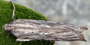 Amphithrix sublineatella 06 2