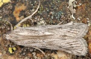 Amphithrix sublineatella 06 4