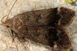 Anacampsis obscurella 05 1