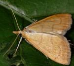 Anania crocealis 06 2