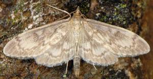 Anania lancealis 06 2