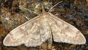 Anania lancealis 06 3
