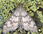 Anania oberthuri 2B 1
