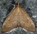 Anania terrealis 06 1