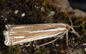 Ancylolomia disparalis 06 1