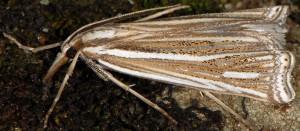Ancylolomia disparalis 06 2