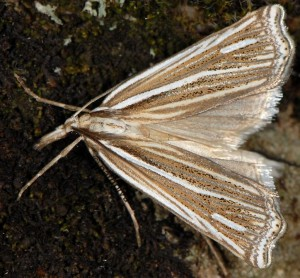Ancylolomia disparalis 06 3