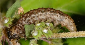 Ancylolomia disparalis L5 06 2