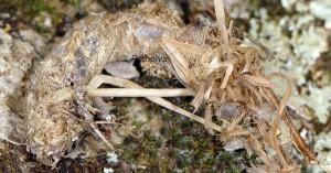 Ancylolomia disparalis tube de soie