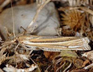 Ancylolomia palpella 06 1