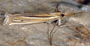 Ancylolomia palpella 06 2