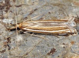 Ancylolomia palpella 06 4